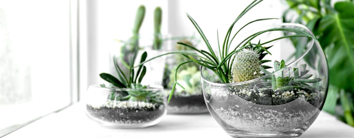 Watergeven cactussen en vetplanten